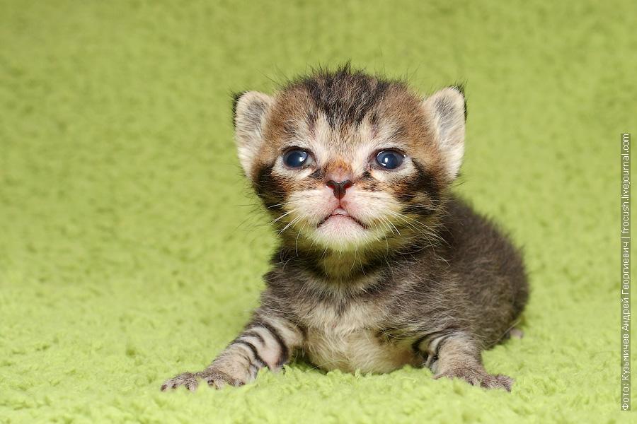 купить котенка в Москве из питомника Бомбеи нетрадиционных окрасов
