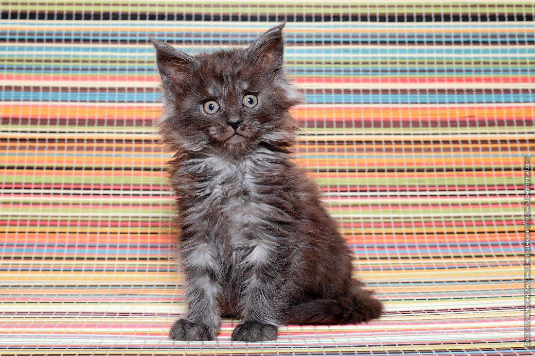 Мейн-кун котенок черный дым