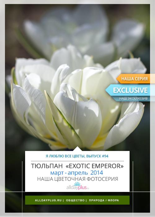 Я люблю все цветы, выпуск #94 | Тюльпан «Exotic Emperor».