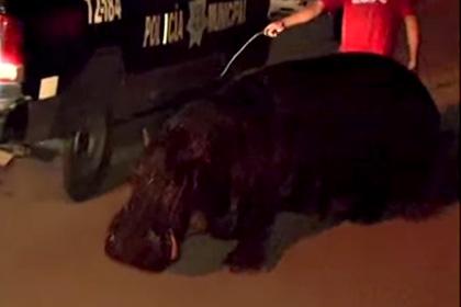 Полиция Мексики поймала беглеца – бегемота
