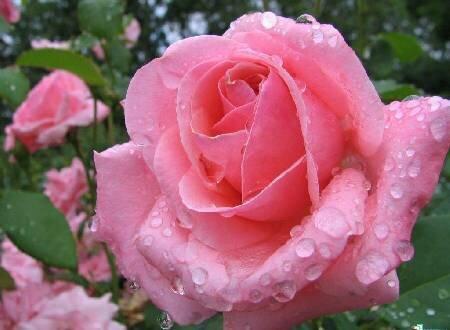 Мокрая роза открытка поздравление картинка