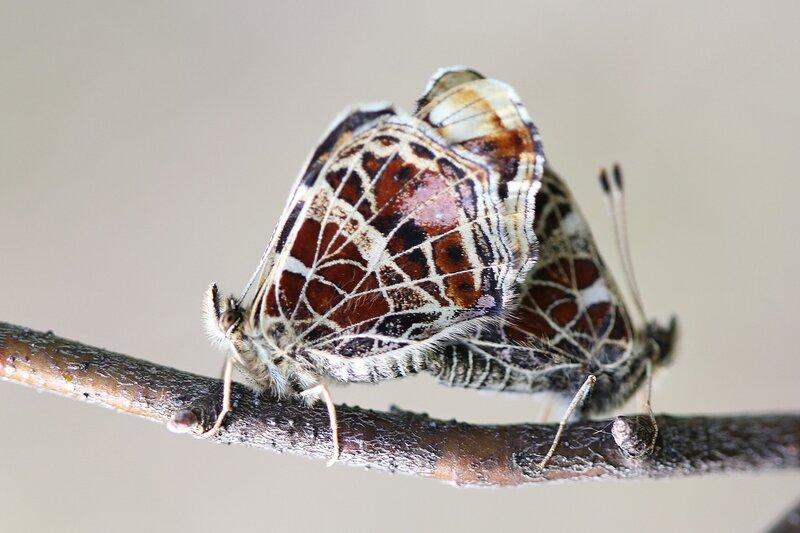Занимающиеся сексом бабочки