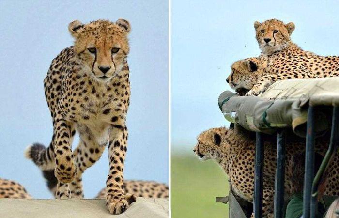 Незапланированная поездка в компании гепарда