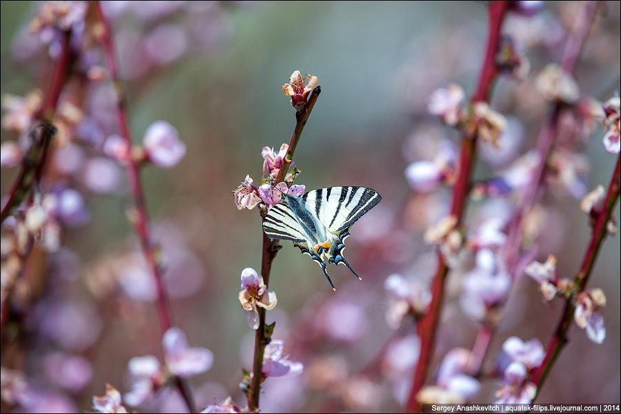 Цветение персиков в Крыму
