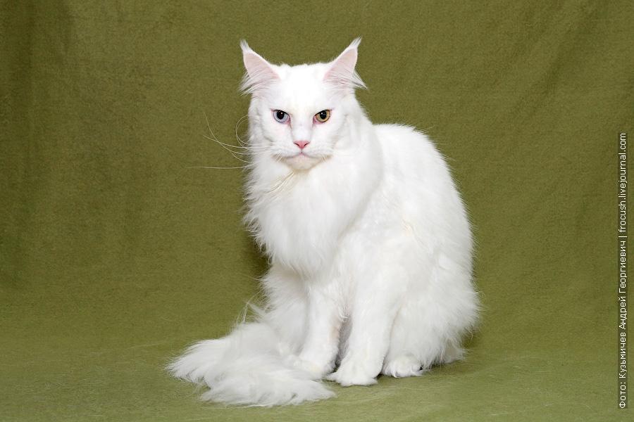 белый кот Мейн-кун из питомника