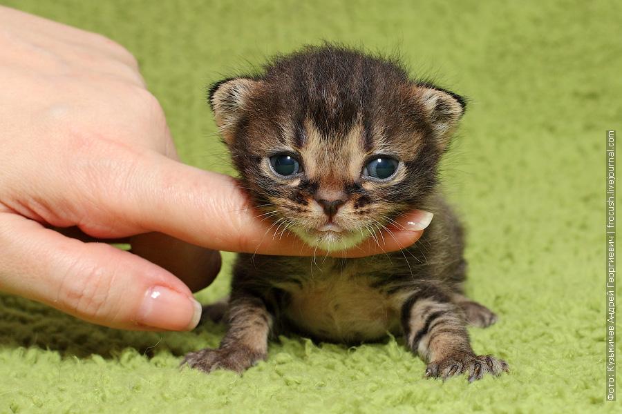 продажа котята Бомбеи нетрадиционных окрасов