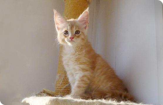 Мейн-кун котенок  красный пятнистый на серебре