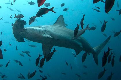 Американские рыболовы приняли роды у акулы-молота длинной четыре метра