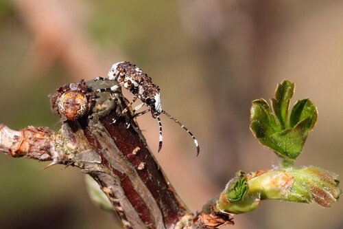 Ложнослоник беловатый (Platystomos albinus)