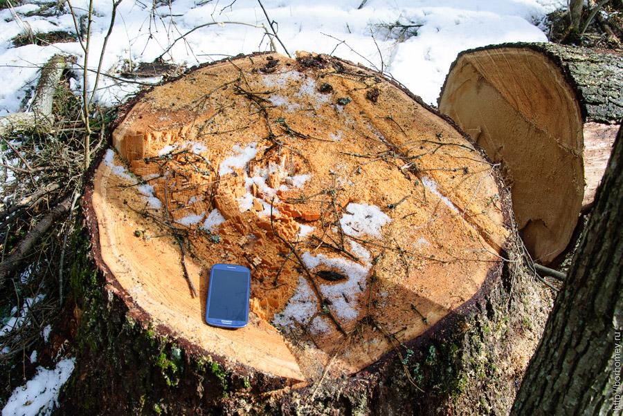 срубили старое дерево