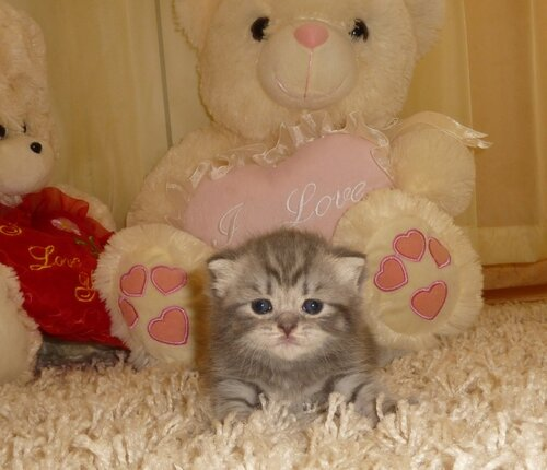 Британские котята из питомника Camelot Castle 0_e730e_d7806006_L