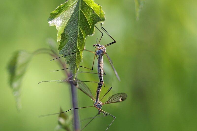 Два совокупляющихся больших комара