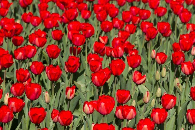 Пекин, тюльпаны