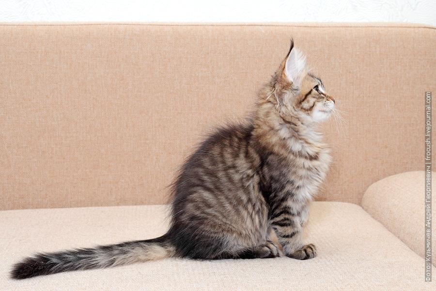 Москва питомник Мейн-кун котенок