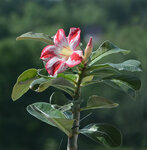 Adenium Obesum Desert Rose BORDER GEM