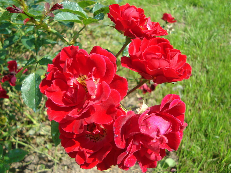 Красные розы Ботанического сада. Москва