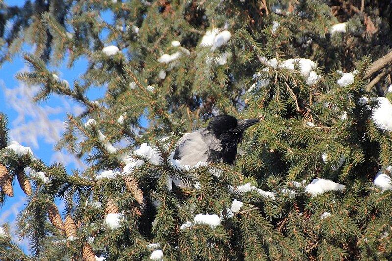IMG_1419 ворона пробует пообедать еловой веточкой
