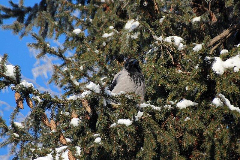 IMG_1431 ворона сидит на еловой ветке