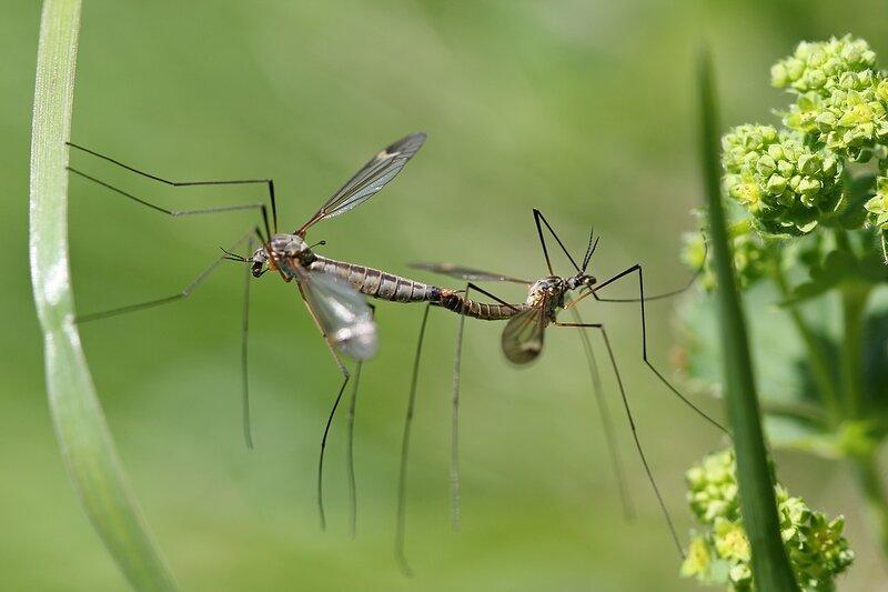 комары-долгоножки занимаются любовью на травинках