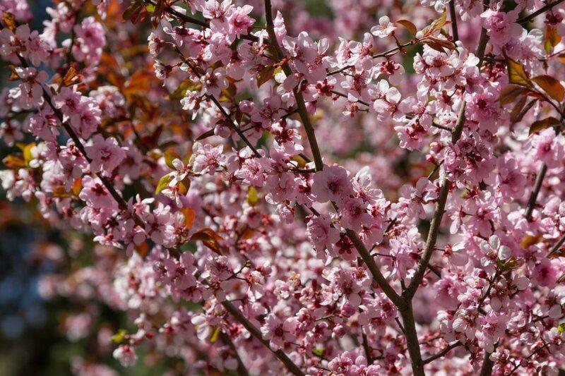 Цветущая слива, парк Сяншань, Пекин