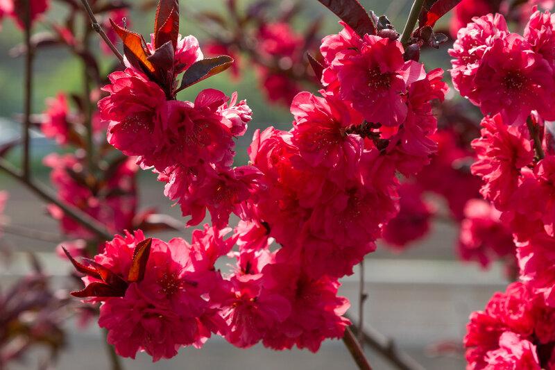 Цветы сливы, Пекин