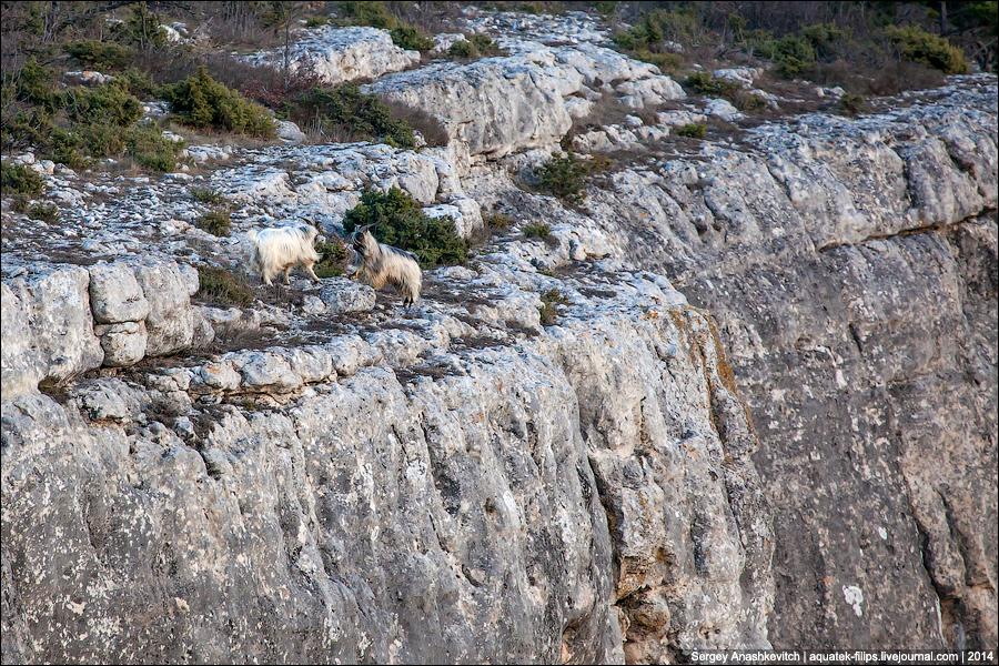Горный козел в Крыму