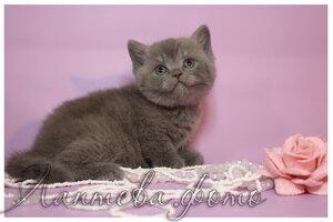 голубая серебристая британская короткошерстная кошка