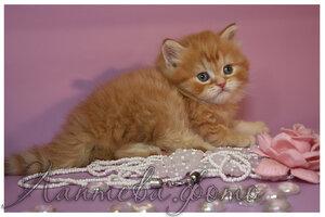 красный пятнистый британский короткошерстный кот