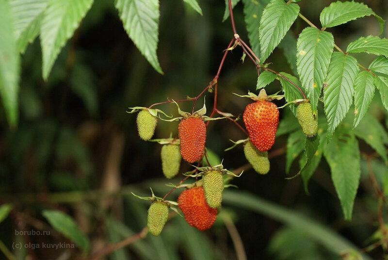 Малина азиатская (Rubus fraxinifolius)