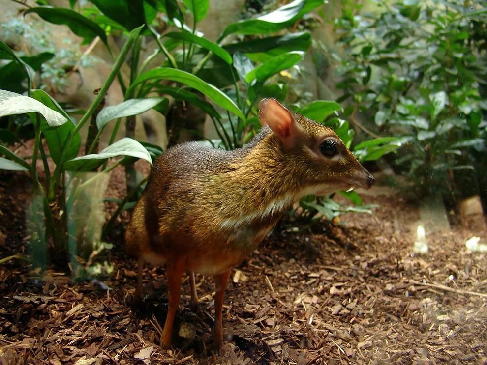 Канчиль — удивительный олень-малютка из тропиков (12 фото)