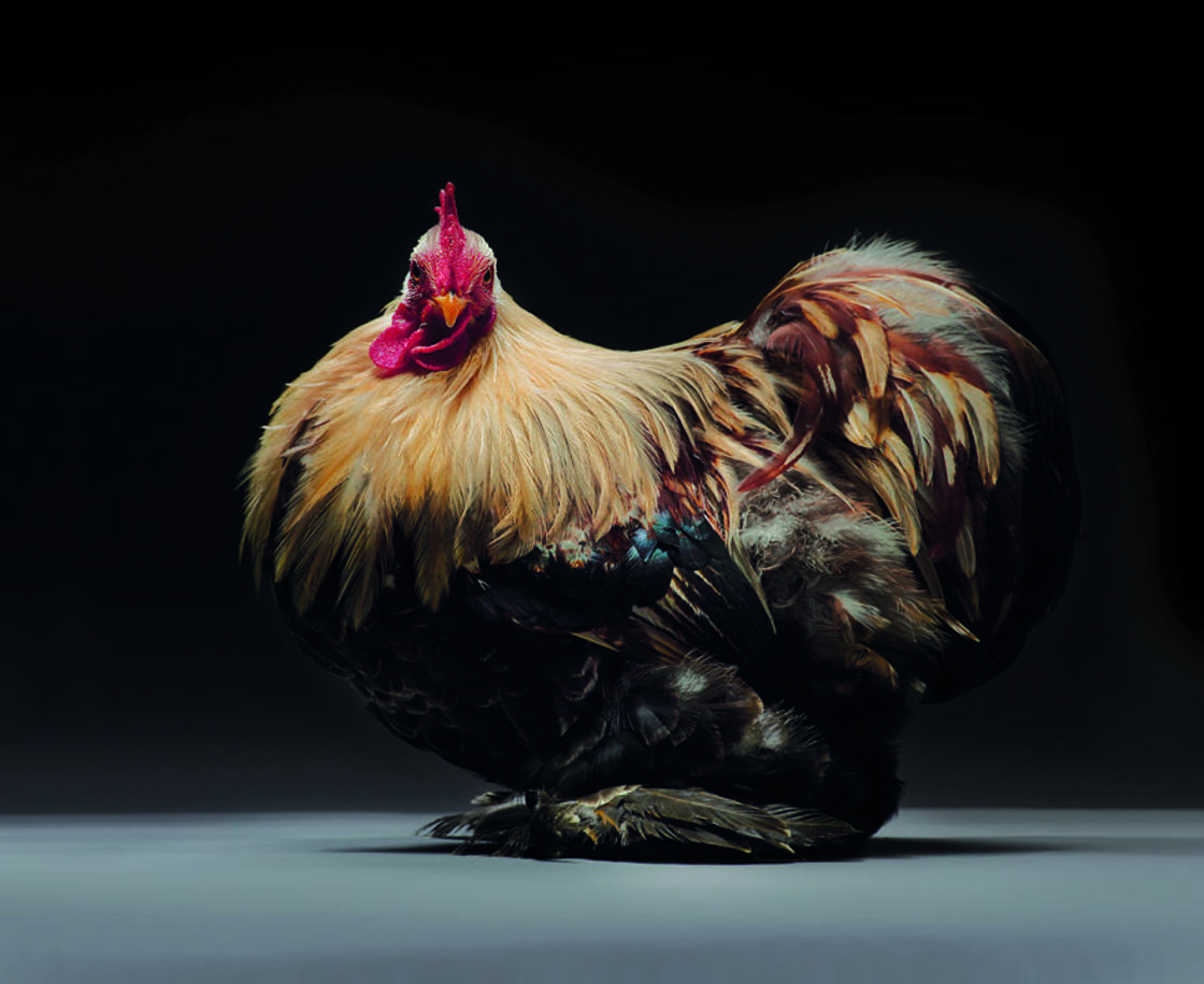 When two photographers capture the most beautiful chickens in the world