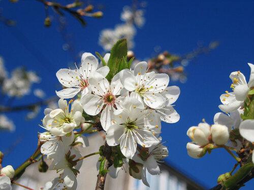 Сезон цветенья открывает алыча...6