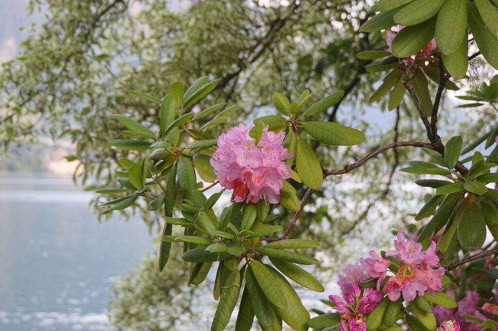 Цвет азалии