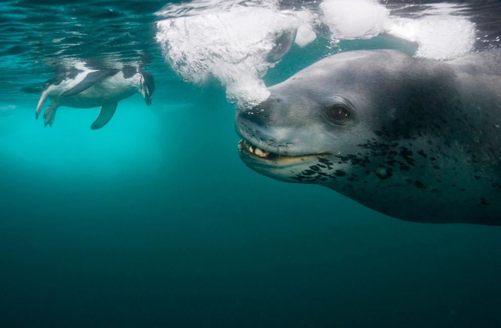 23. Морской леопард поймал пингвина.