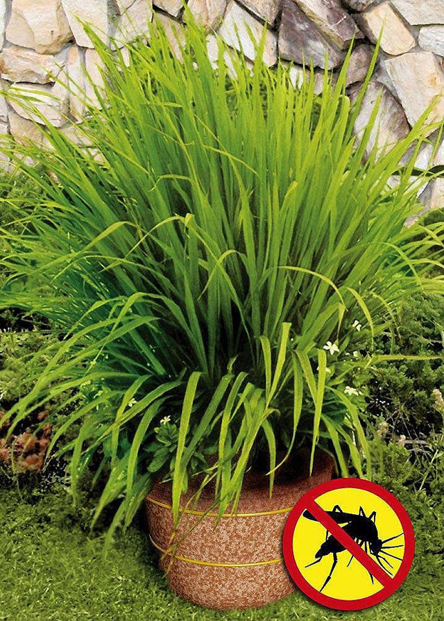 10. Кустик лемонграсса (лимонной травы) спасет вас от комаров Купите взрослое растение лимонной трав