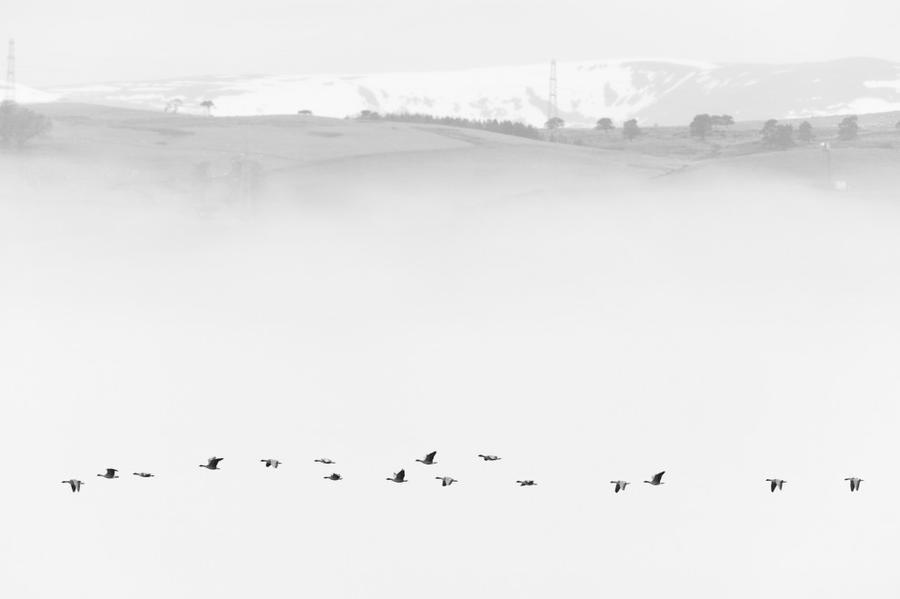 9. Категория «Природа Великобритании в чёрно-белых тонах». «Короткоклювые гуменники в тумане». Север