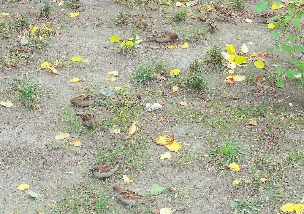 жырные осенние воробьи