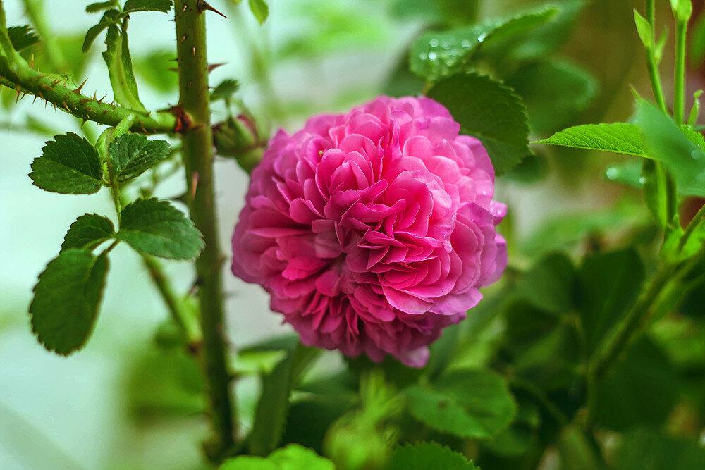 роза-для-поста.jpg
