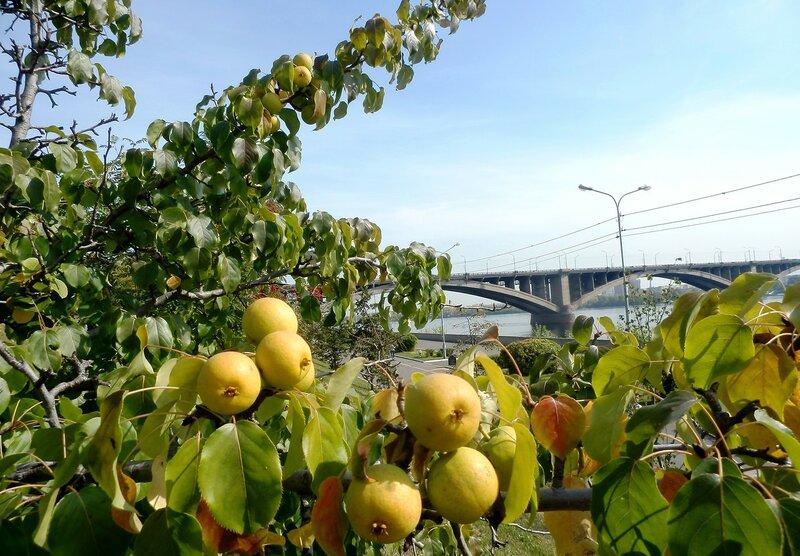 Наливные яблочки.JPG