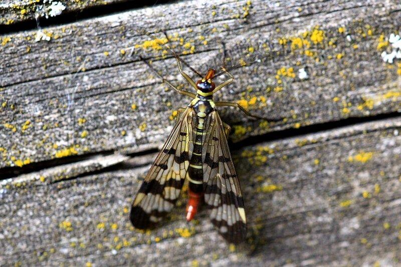 Самка скорпионницы обыкновенной (Panorpa communis) на замшелой доске - желтое с чёрным узором насекомое с четырьмя узорчатыми крыльями, длинными усами и удлинённой головой (рострум) а также скорпионьим хвостом
