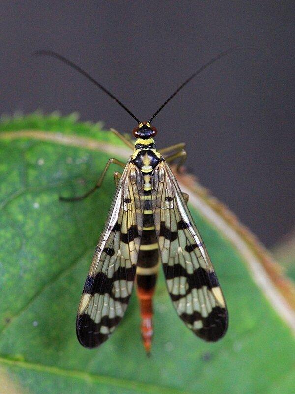 Самка скорпионницы обыкновенной (Panorpa communis) на зелёном листе - желтое с чёрным узором насекомое с четырьмя узорчатыми крыльями, длинными усами и удлинённой головой (рострум) а также скорпионьим хвостом