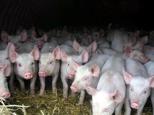Карантин на свиней с африканской чумой был снят в двух селах