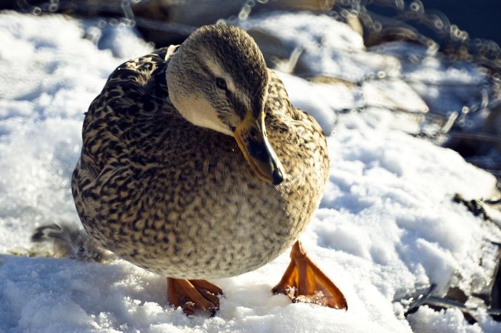 ВКраснодаре пересчитают зимующих водоплавающих птиц
