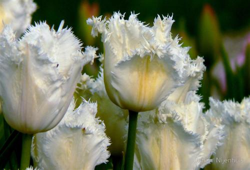 Весна тюльпаны