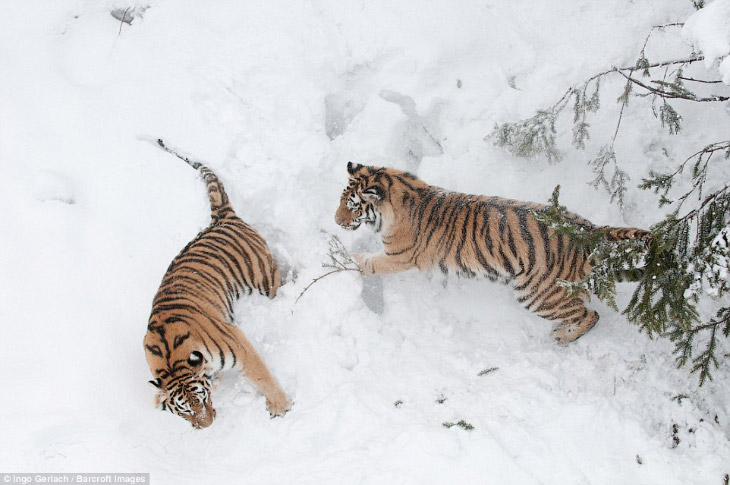 2. Сибирские тигры когда-то жили в России, Северном Китае и на территории Корейского полуострова, но
