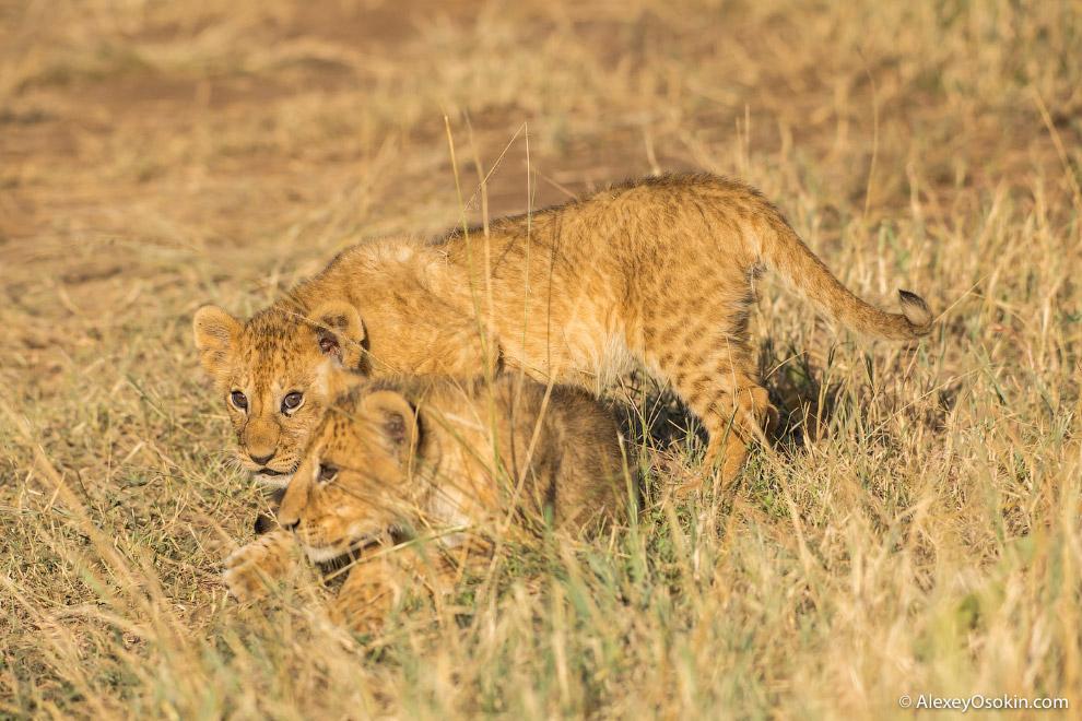 3. Самки чаще выступают в роли охотника — по этой причине грива, которая может помешать при мас