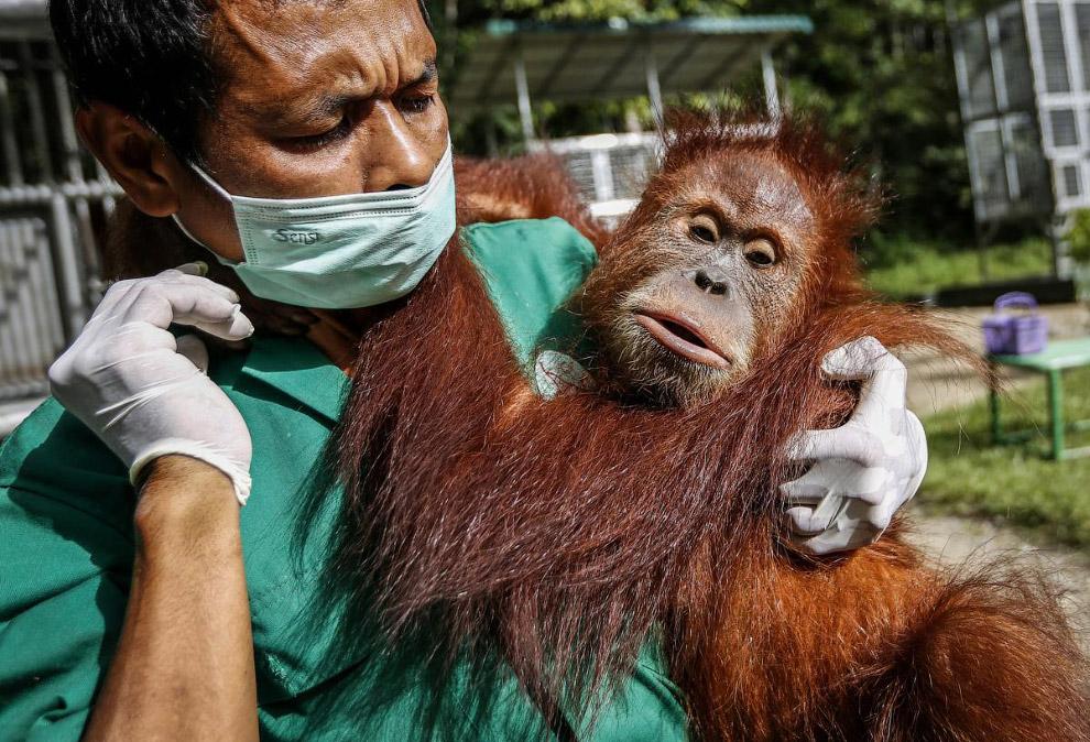 7. Подробнее читайте в статье « Орангутанги в Индонезии ». (Фото Hotli Sumanjuntak):