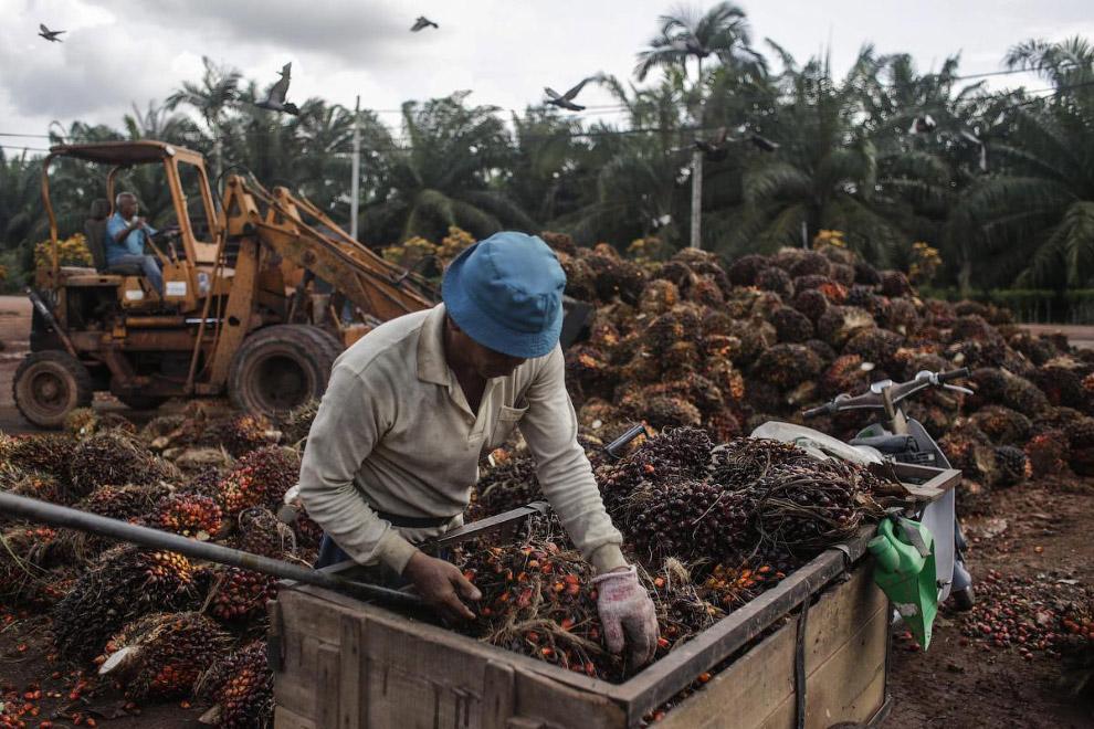 17. Как растительные масла и подсолнечное и пальмовое масло не содержат холестерин. Однако за с
