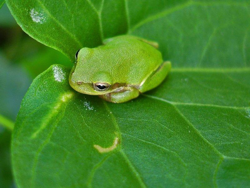 Ученые открыли семь новых видов лягушек