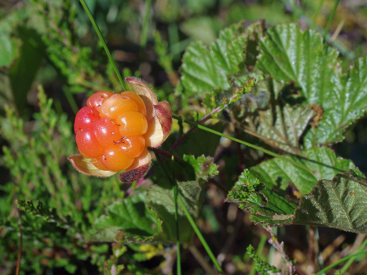 Морошка (Rubus chamaemorus). Автор фото: Юрий Семенов